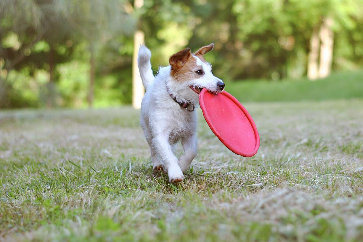 a brown and white dog carrying a frisbee in its mouth