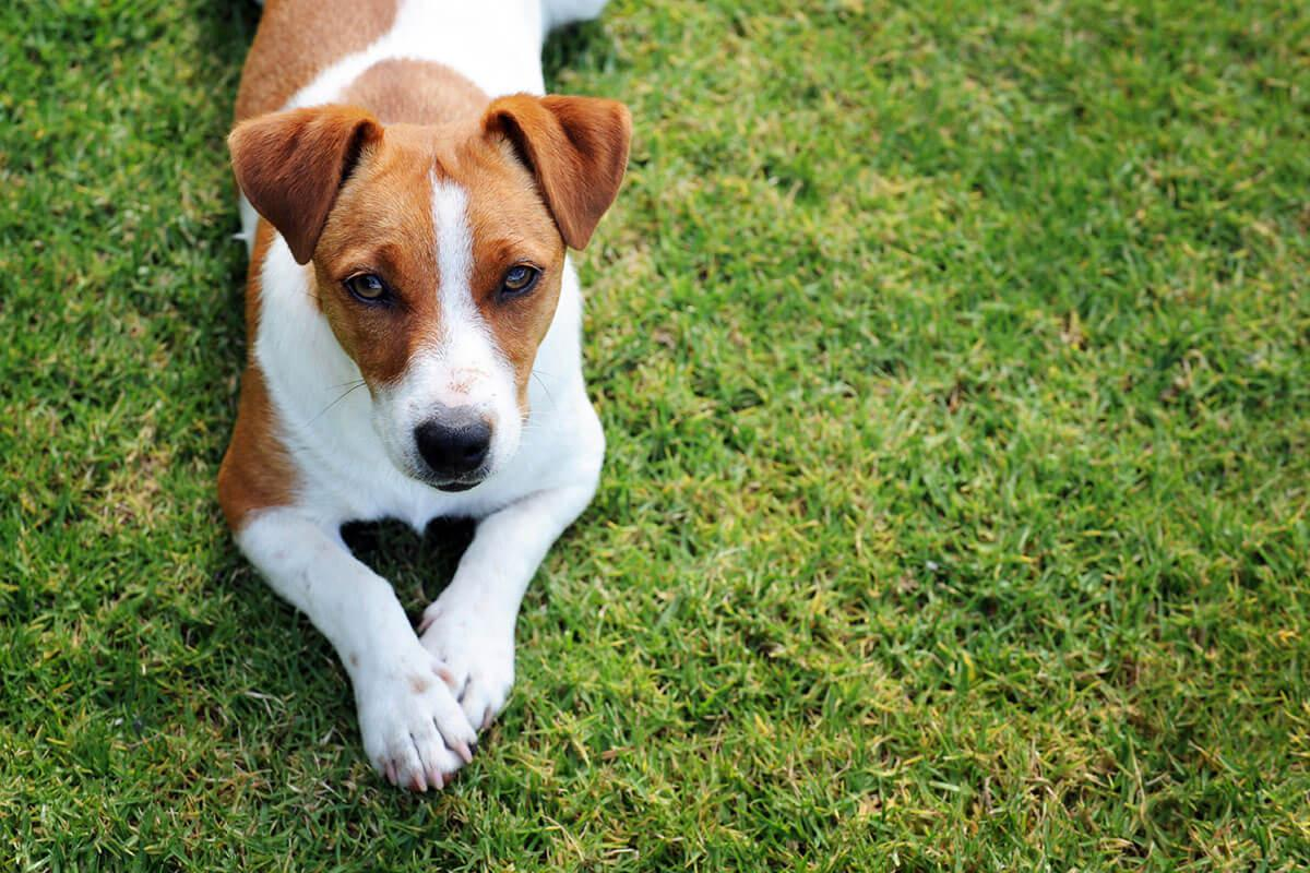 a brown and white dog sitting in the grass