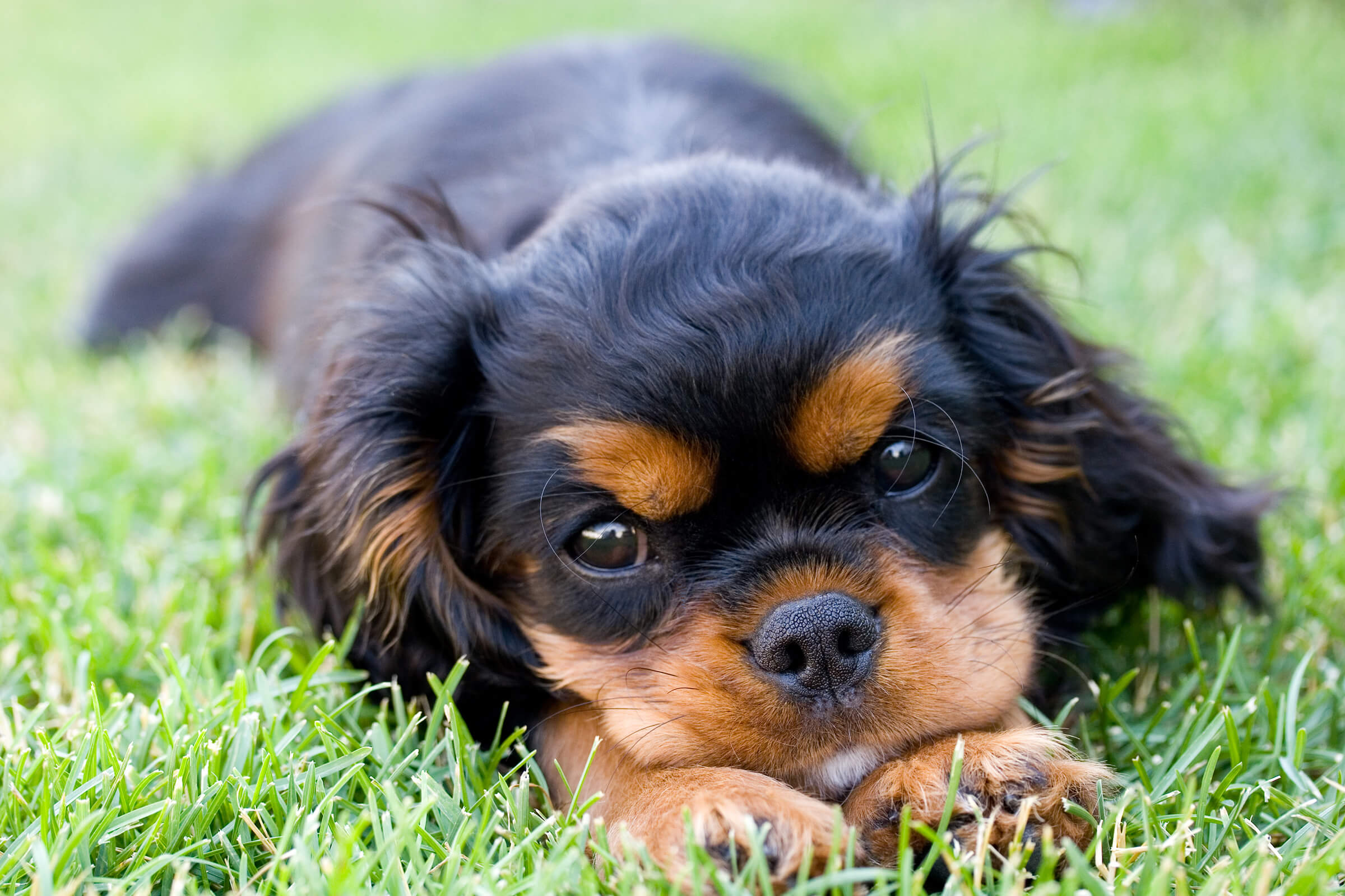 a brown and black dog lying on the grass