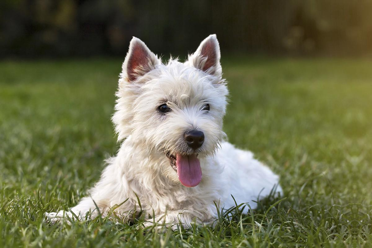 a brown and white dog lying on green grass