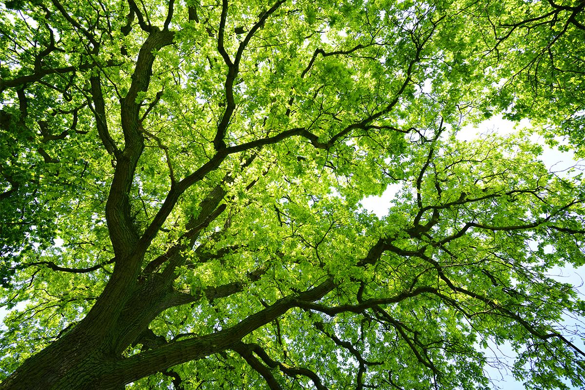 Mighty Oak Tree from below iStock_76880789_LARGE.jpg