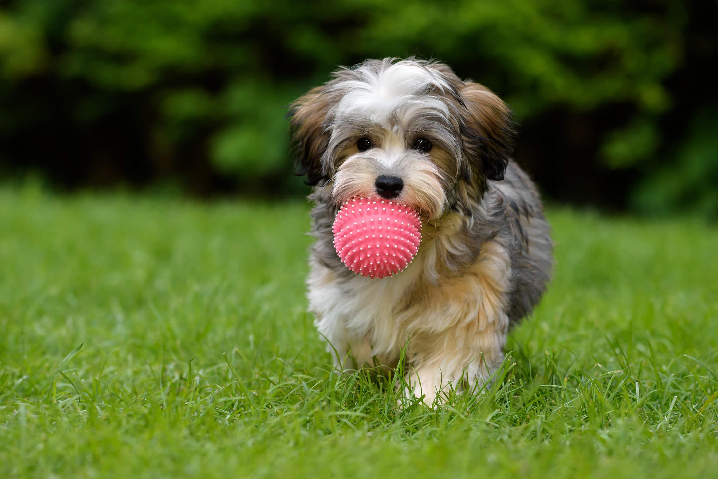 a brown dog carrying a frisbee in its mouth